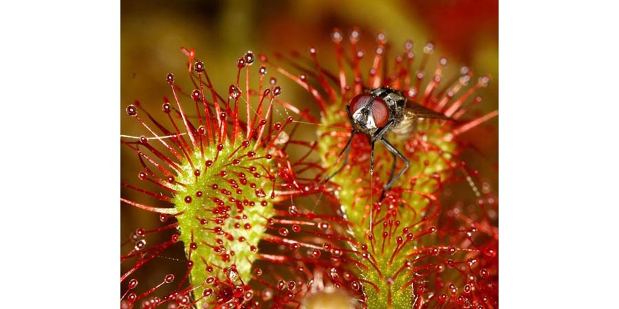 Fly stuck on Drosera Intermedia