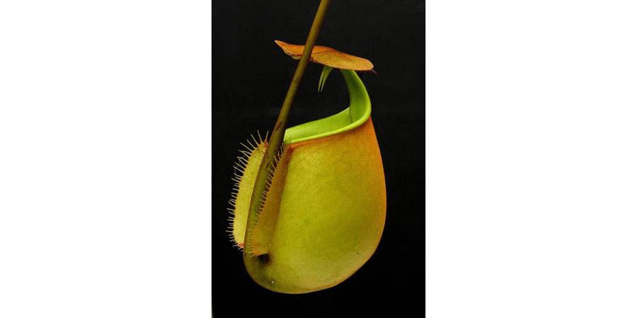 Nepenthes Bicalarata