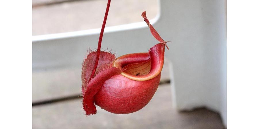 Nepenthes Viking